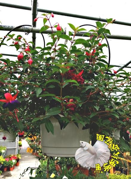 [深紫色 跳舞花金鐘花吊鐘花盆栽] 6寸盆 多年生觀賞花卉盆栽 送禮小品盆栽 室外植物