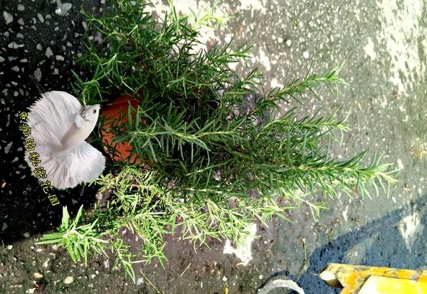 [大迷迭香盆栽] 5-6吋盆活體香草植物盆栽, 可食用可泡茶煎牛排雞排