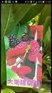 花花世界_季節水果苗--大果甜桑葚--**酸甜保健**/3.5吋盆/高30~40CM/TC