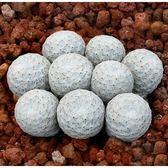 ⓒ白鷺種子(5顆裝) 進口多肉植物/仙人掌種子【K51】