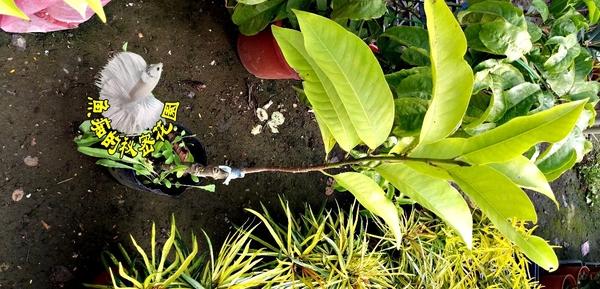 [白玉蘭花盆栽 傳統玉蘭花] 4寸黑軟盆 室外花卉 多年生觀賞花卉盆栽