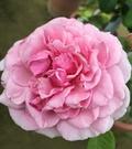 花花世界_玫瑰苗--主教城堡,Bishop's Castle--灌木玫瑰/7吋盆苗/高30~60公分/Tm