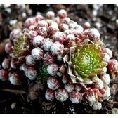 ⓒ長生草蛛絲混合種子(10顆裝) 多肉植物種子【K21】