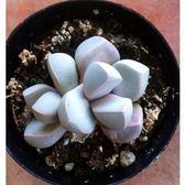 CARMO白魔玉生石花種子(10顆裝)【A34】
