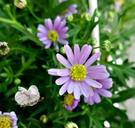 [詩荷菊 紫色迷你小雛菊盆栽]  5吋活體盆栽 送禮小品盆栽