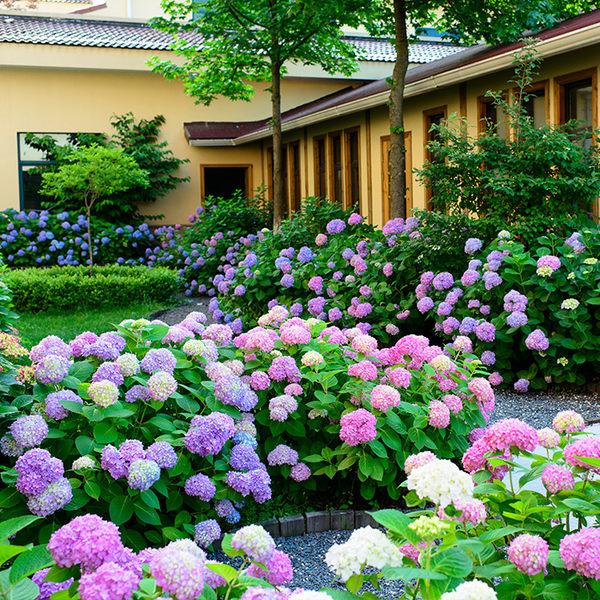 花卉種子 波斯菊種子格桑花花種籽子好養的花卉種孑盆栽種籽四季開花不斷繡球花-凡屋