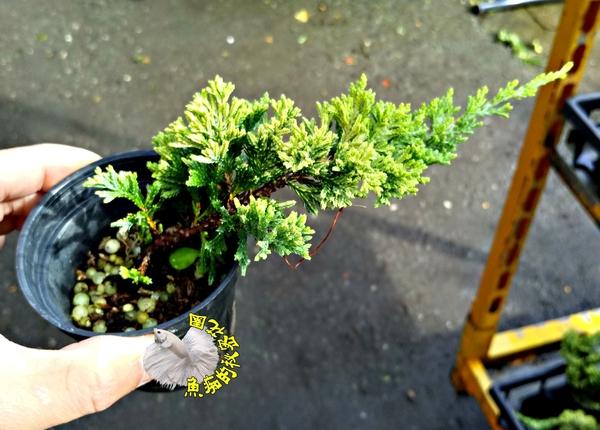 [黃金圓柏 迷你柏樹盆栽] 2.5寸黑盆 室外多年生觀賞松柏盆栽