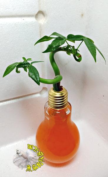 不挑色水晶泥 [玻璃燈泡瓶+水耕彎曲發財樹 馬拉巴栗 美國花生 發財樹盆栽] 辦公室植物