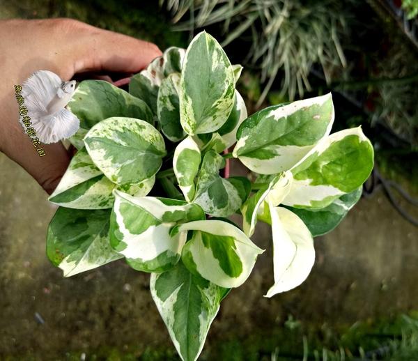 活體 [白金葛] 室內植物 3吋盆栽 送禮小品盆栽
