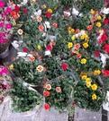 花花世界_食用植物-- 馬齒牡丹--花的...