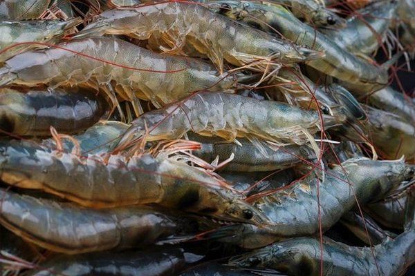 【漁仁】益生菌養殖台東海白蝦綜合小組-電電購