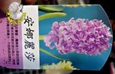 [安娜麗莎] 超香 淺紫色風信子  2.5寸盆 室內濃香花卉 多年生球根類觀賞花卉盆栽