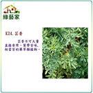 【綠藝家】K24.芸香種子50顆...