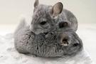 CD-3 小動物乾洗礦砂粉 老鼠天然洗澡沙粉 龍貓沙 小動物天然澡粉 美國寵物第一品牌LIXIT® 立可吸