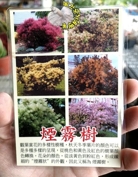 4-5吋盆 [煙霧樹盆栽] 高級乾燥花~換大盆子或種地上才能快長大~ 半日照佳.先詢問有沒有貨!