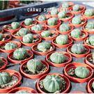 〔新手入門〕CARMO仙人掌兜成株(1吋) 多肉植物【Z0030】