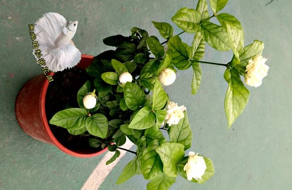 5/10有花! 超香 [虎頭茉莉花] 大茉莉花盆栽 6-8吋盆活體盆栽 多年生觀賞花卉 每年夏季是花期