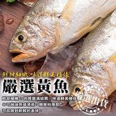 單尾350元起【海肉管家-全省免運】巨無霸野生深海黃魚X1尾(600-700g±10%/尾)