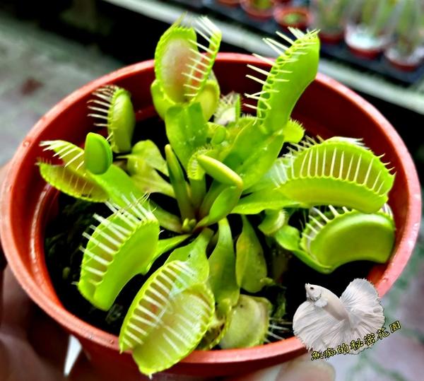 活體 [ 大捕蚊草 捕蠅草  ] 食蟲植物 3吋盆栽 送禮小品盆栽
