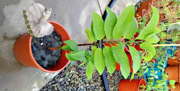 [蜜紅釋迦盆栽] 5吋活體盆栽 送禮小品盆栽 室外植物
