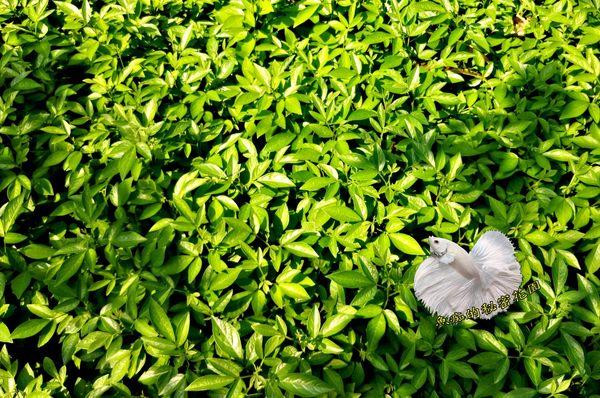 活體 [ 8吋大茉草 避邪草 ] 室外植物 8吋盆栽 驅邪避凶 淨身洗澡