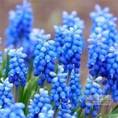 花卉種子 十顆葡萄風信子種球土培植物盆栽四季花卉種子秋季風信子水仙百合-三山一舍