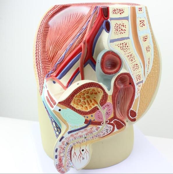 計劃生育 指定男性生殖泌尿盆腔系統模型3部件男性骨盆健康指導