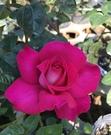 花花世界_玫瑰苗--巴濃,大輪種-- 桃紅色系/4吋盆苗/高10~30公分/Tm