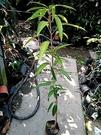 花花世界_季節水果--福爾摩沙芒果**甜度高多汁**--/4吋盆/高40~50cm/TC