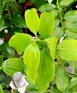 活體 [ 阿里山肉桂 咖啡肉桂粉原料 ] 室外香草植物 5-6吋盆栽 送禮盆栽