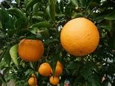[苗栗]採果體驗-丫發哥果園(柑橘、金桔)