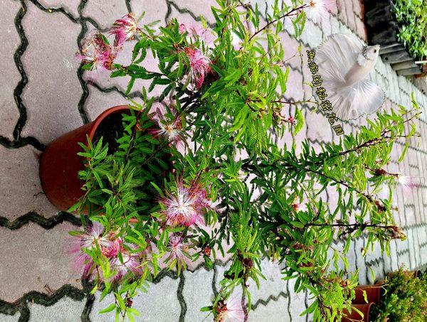 [粉紅色合歡花 和歡花盆栽] 室外植物 5-6吋盆活體盆栽 送禮小品盆栽