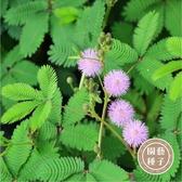 CARMO含羞草種子 園藝種子(50顆)【FR0031】