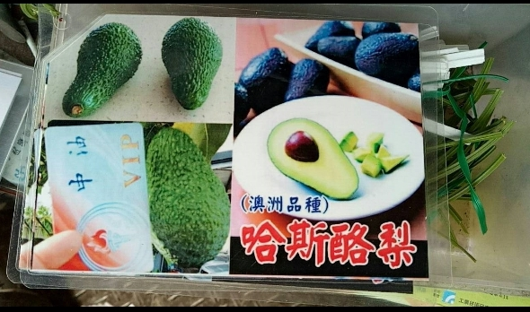 水果苗 ** 澳洲紫皮哈斯酪梨 ** 4吋盆/高40-50cm/ 酪梨的纖維含量很高【花花世界玫瑰園】S