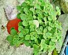 [ 大圓葉左手香 倒手香 一抹香盆栽 5-6吋盆] 香草植物/藥用植物活體盆栽 可食用可泡茶