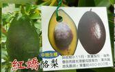 花花世界_水果苗--紅嬌酪梨*中晚生種*--外觀呈梨型/4吋盆/20-30cm/ts