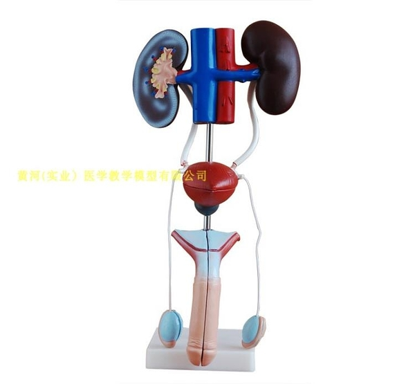 男性泌尿生殖系統模型人體泌尿系統解剖模型腎臟膀胱陰莖睪丸