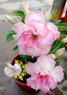 [瑪莉] 新品種複瓣沙漠玫瑰] 5寸盆 多年生觀賞花卉盆栽 室外半日照佳 ~ 寄出時不一定還有花!!