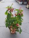 花花世界_藤蔓植物--*使君子*--優良造景樹種/5-6吋/高約30-45cm/TS