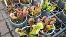 食蟲植物 ** 海豚瓶子草 ** 3吋盆...