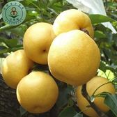 綠安生活•吉園圃大湖新興梨6粒1盒(460g±10%/粒)-清甜多汁
