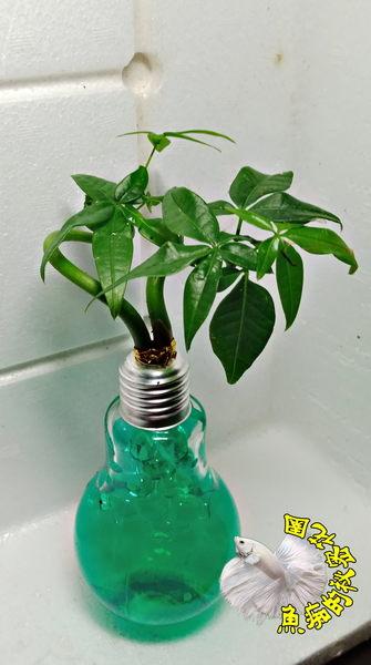 青色水晶泥 [玻璃燈泡瓶+水耕彎曲發財樹 馬拉巴栗 美國花生 發財樹盆栽] 辦公室植物