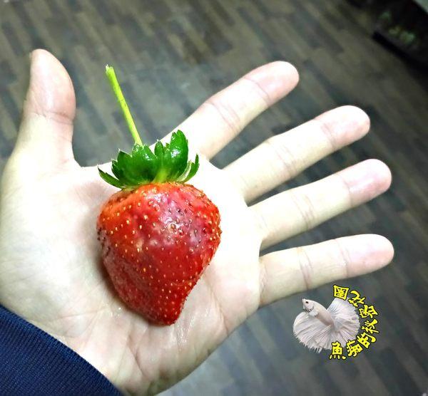 [尚未結果!][新品種香水草莓盆栽] 5寸盆 室外半日照佳 食用草莓盆栽