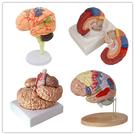 人體大腦模型腦血管模型腦解剖模型醫學 教學用模型 可拆分9倍件