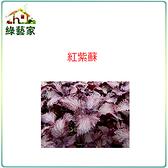【綠藝家】大包裝F08.紅紫蘇(日本進口)種子12克(約6000顆)