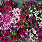 花花世界__季節花卉-- 迷你日日春---好照顧易開花/3吋盆/高15cm-30cm/Ts
