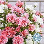 CARMO康乃馨種子 園藝種子(50顆) 【FR0035】