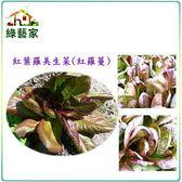 【綠藝家】大包裝A56.紅葉羅美生菜(羅蔓)種子35克