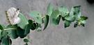[大蘋果桉 蘋果胺盆栽] 尤加力乾燥花 尤佳力乾燥葉原料  5吋盆 多年生室外活體香草植物盆栽