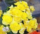 [黃色 麗格海棠花 重瓣海棠花盆栽]   室外植物 5-6吋活體盆栽 送禮小品盆栽
